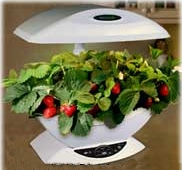 AeroGarden Strawberries