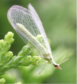 Green Flying Bugs http://www.hydroponicsonline.com/blog/beneficial-insects-part-2
